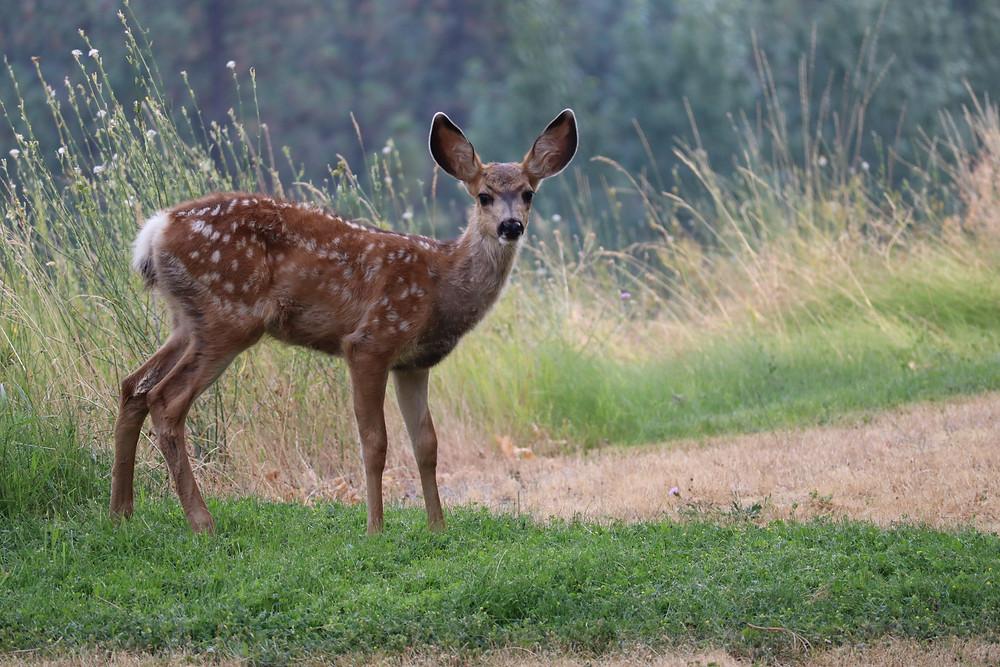 baby deer fawn with white spots found near birch trail resort