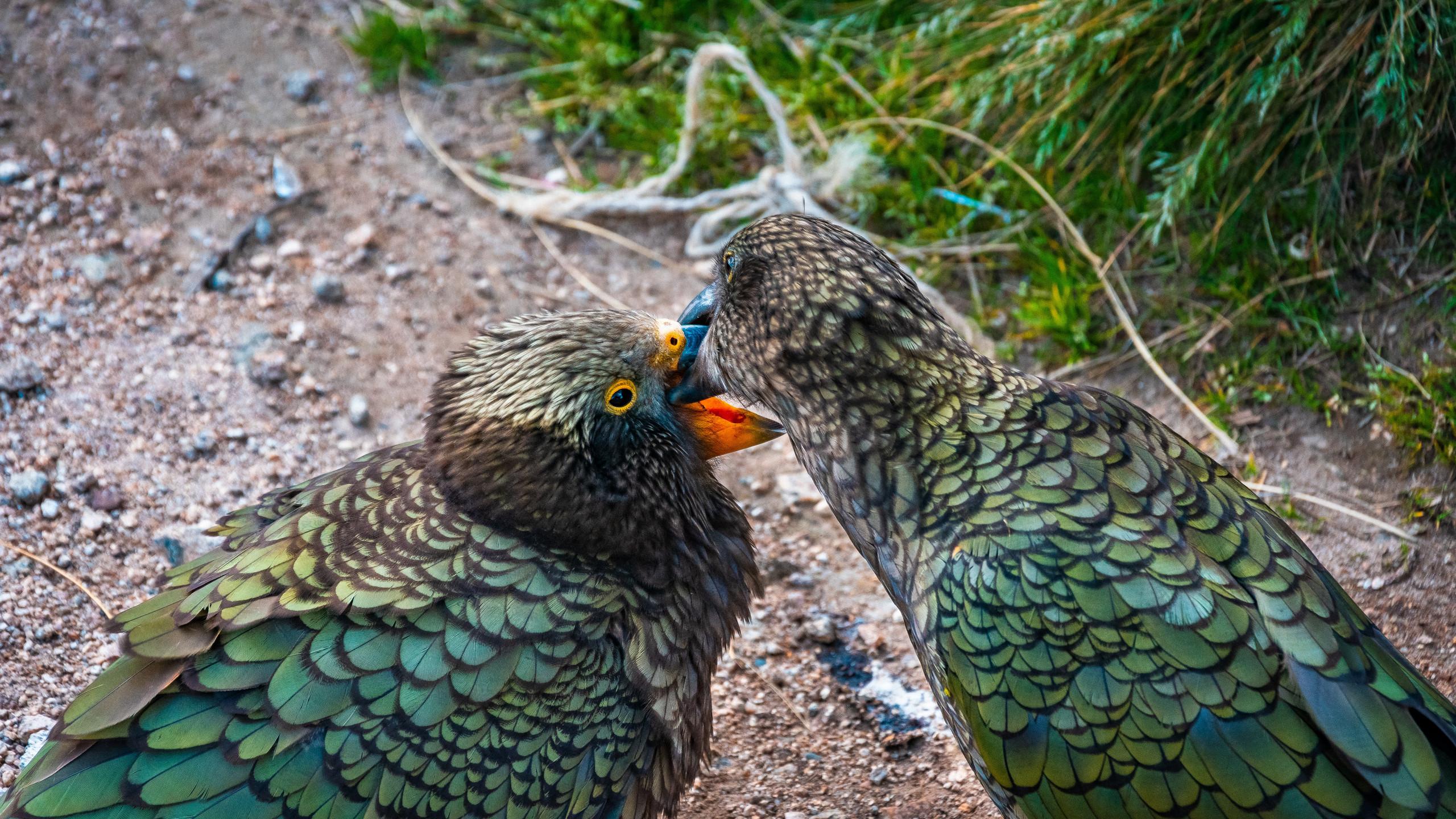 Kea parrots, Fiordland, New Zealand attractions, New Zealand activities