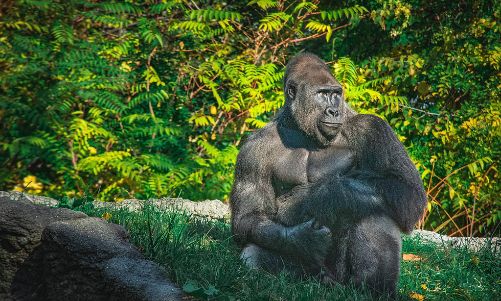 Lowland Gorillas Love Money, Time, and Graphs