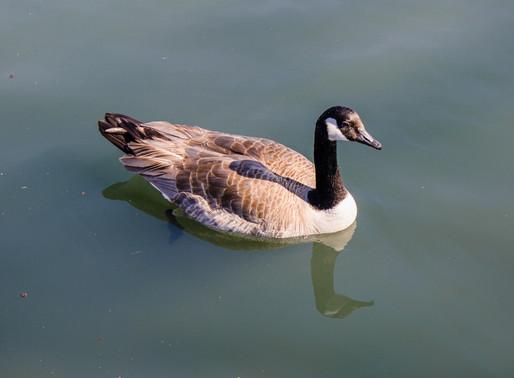 温哥华岛加拿大鹅泛滥,地方政府在大批灭杀;为什么不做成烧鹅?