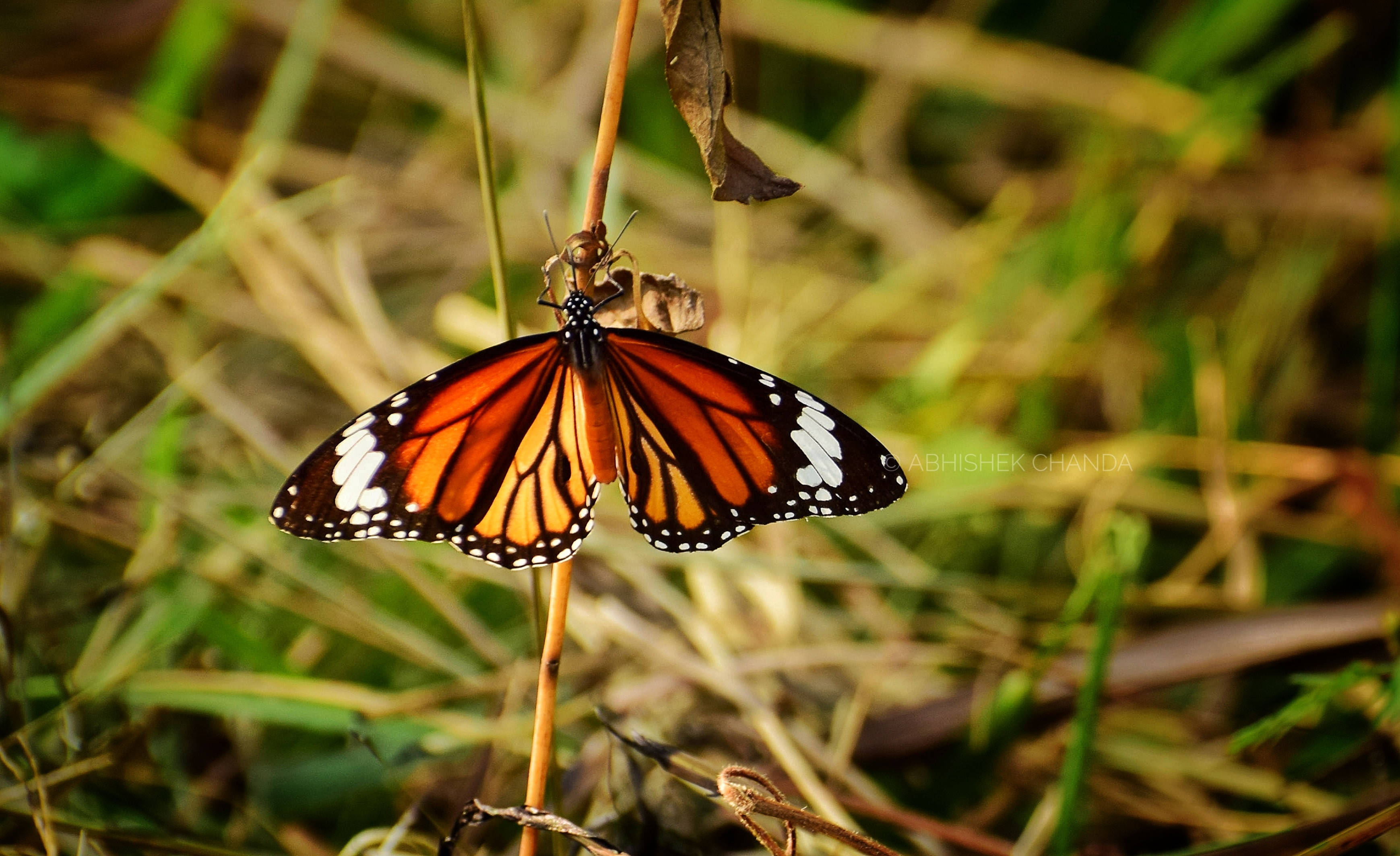 Monarch Butterfly on Stem