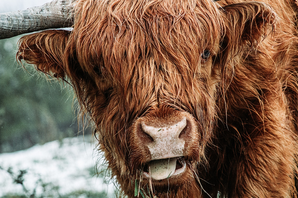 A hairy, brown bull looks dryly at the camera, as if to say, enough of the bulls***, banks are greenwashing, article by Hannah Duncan