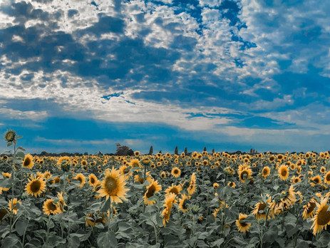 Sunflowers, not just a pretty face
