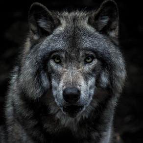 Lupul - specie protejată în Slovacia