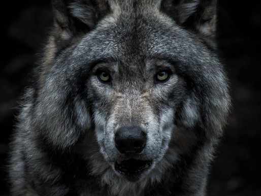 Wildlife Science Center steals a wolf's pup, 7 wolves escape, 2 wolves killed
