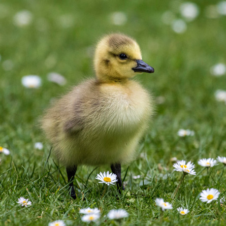 Social media platforms advertising ducklings for sale: what the duck?