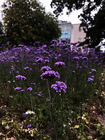 Image by Tamara Gore, Purple Flowers,  Used On Upper Valley Turning Point Website
