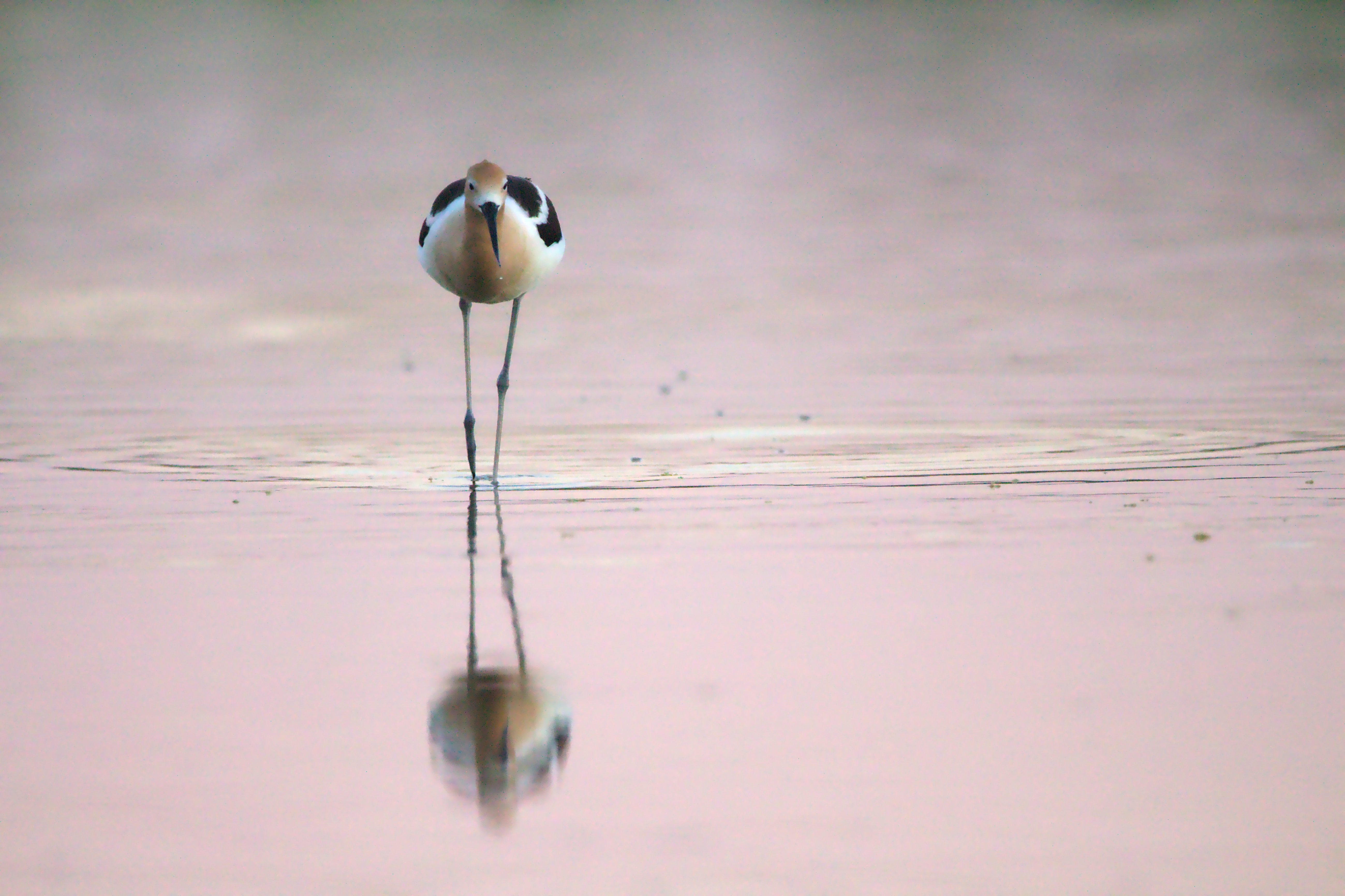 Avocet by Benoit Gauzere