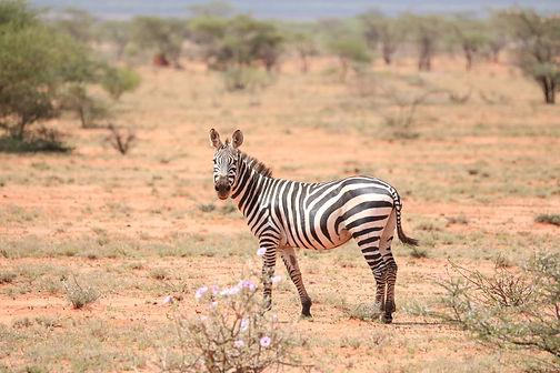 Kenya Savana zebra Instagram