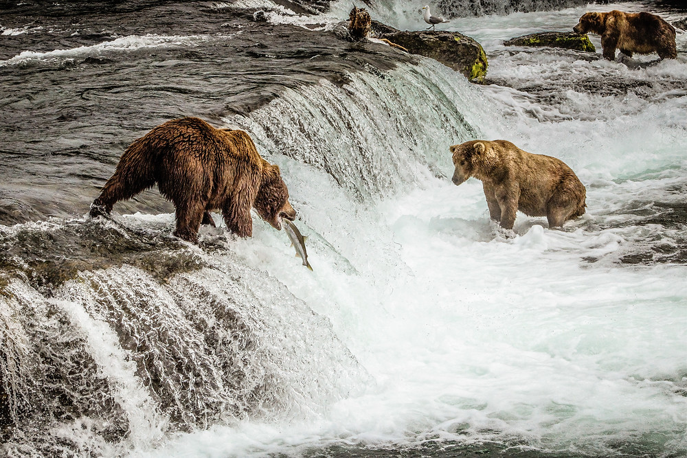 bears in a river catching salmon