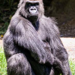 Gorila Richard are COVID