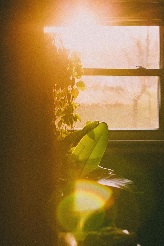 Sun setting on pothos hanging in window
