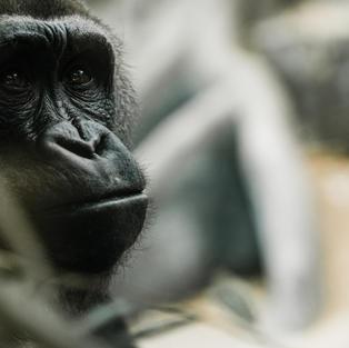 Gorilla Trekking in Rwanda