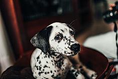 Dalmatian, Dalmatians, Dalmatian Puppies