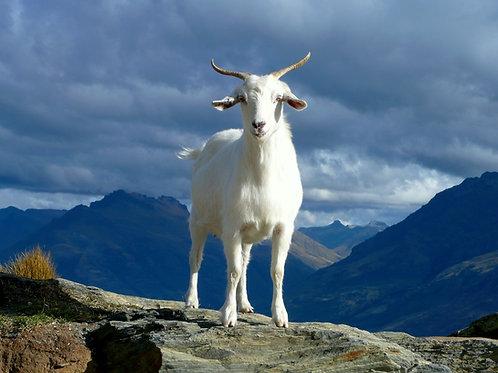 Rohingya Goat Sadaqah