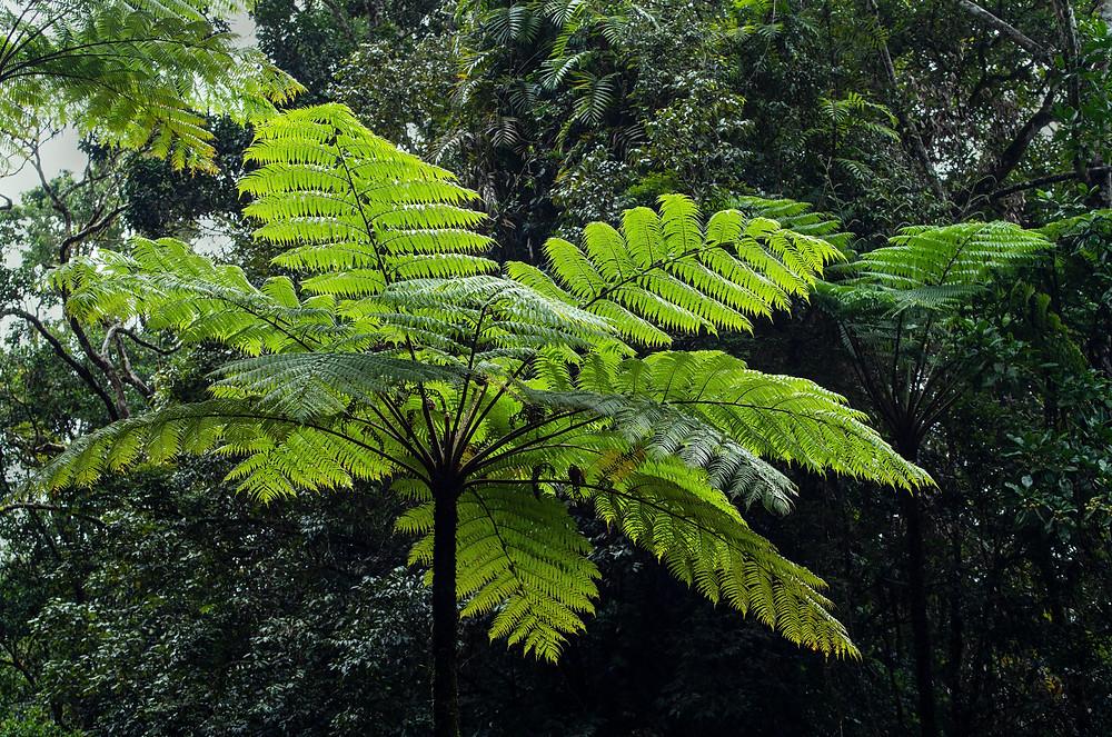 tree-fern-tall