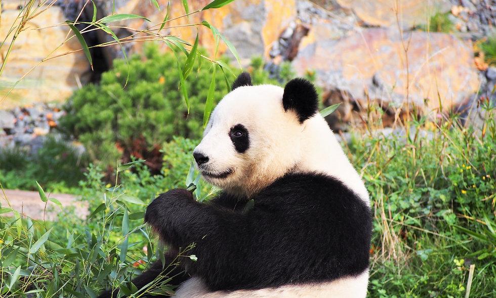 Giant Pandas Do Geometry