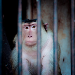 Welfare of macaques in rescue centres