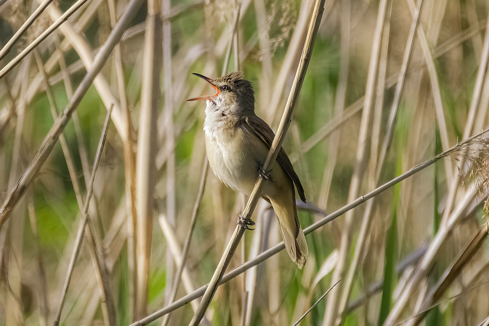 Small bird sining in the reeds