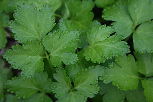 Parsley- Italian Flat Leaf