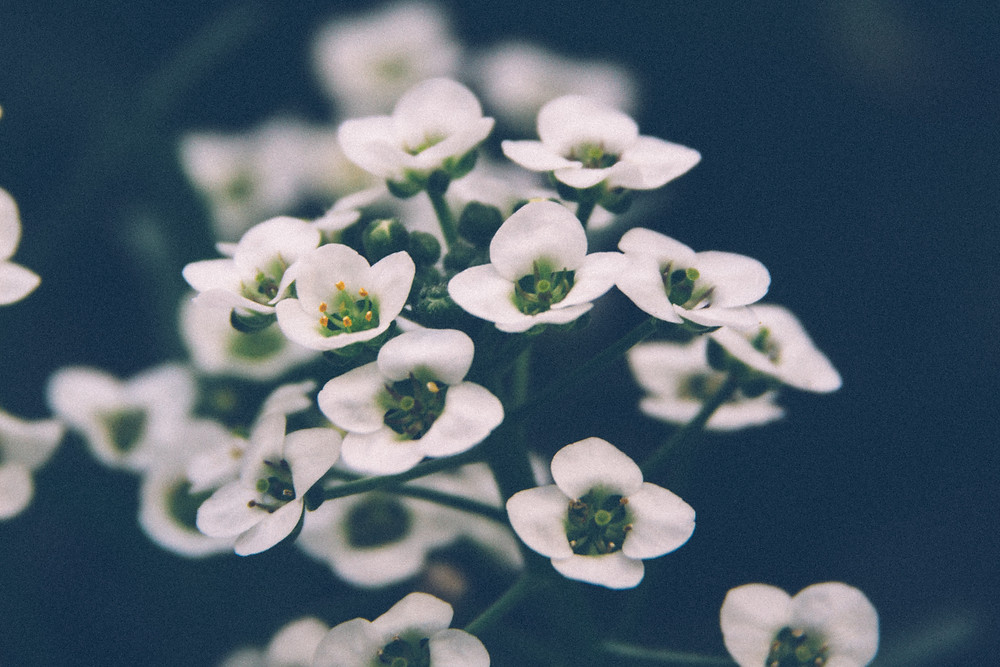 White flowers harness the moons magickal powers by taking the light of the moon and bouncing it back into the space creating an echo effect in visual magnificence.