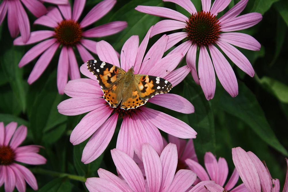 Denver Yimby: Colorado Native Plants Seed Swap: Coneflowers