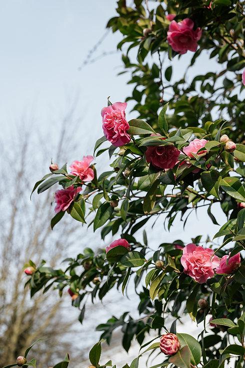 Flowers - camillias