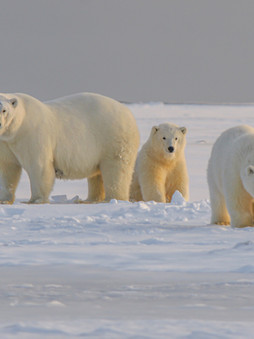 Top 5 Fascinating Facts About Polar Bears!