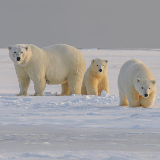Search for Polar Bears in Canada
