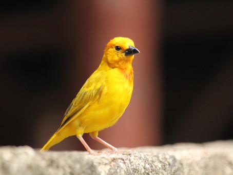 Warum der Kanarienvogel das Logo von Mastzellenhilfe ist und was wir alle damit zu tun haben