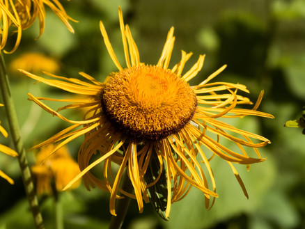 Inula helenium: how this panacea of the ancient world could help with COVID