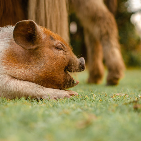 Chinese Bedtime Stories - The Three Little Pigs