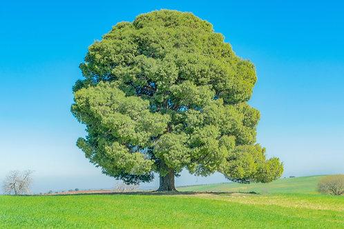 Celtic Oak Empowerment - Stability, Strength, Wisdom & Courage