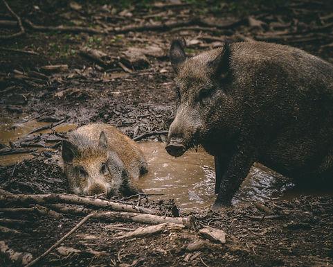 Inoffizielle Jagdhorn Prüfung , Bläserabzeichen C für Gesellschaftliches Jagd